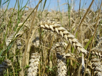 Wheat May Have Bottomed Out